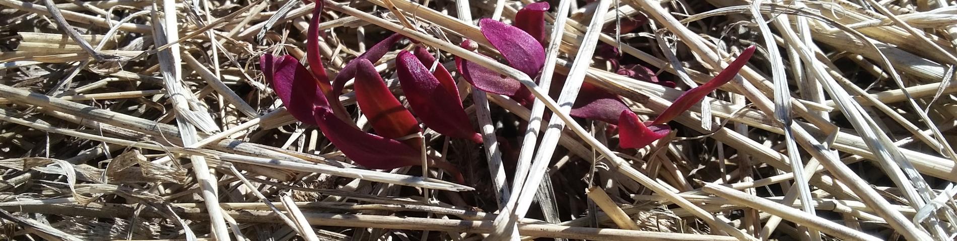 Red salad in mulch