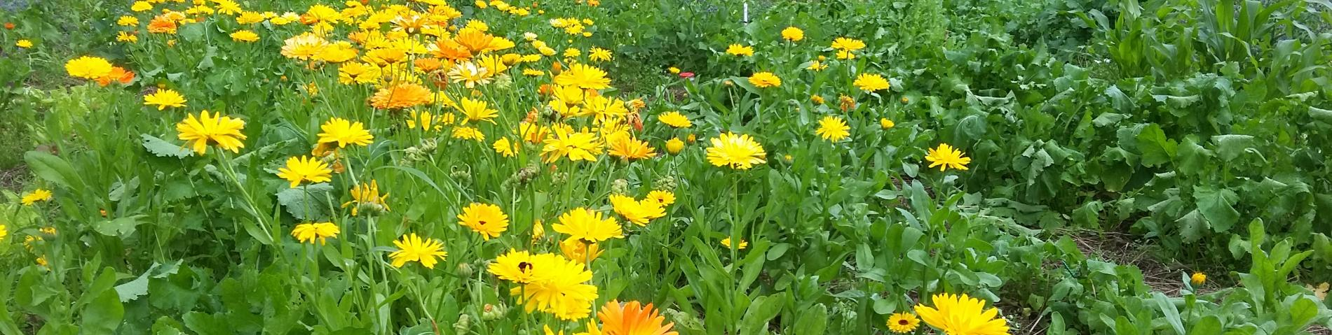 Calendula field with blooming flowers