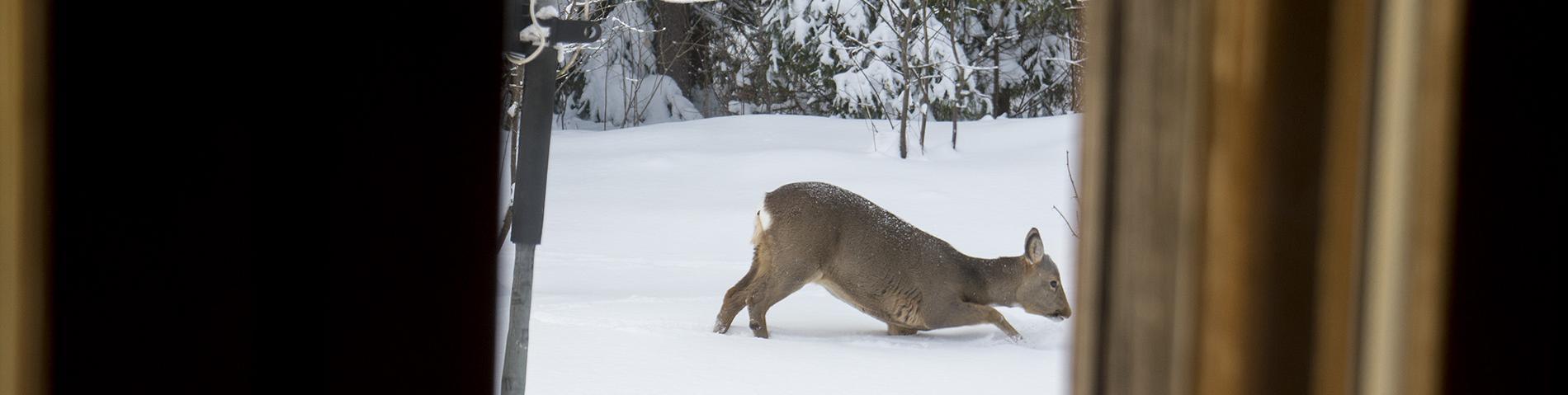 Deer in deep snow