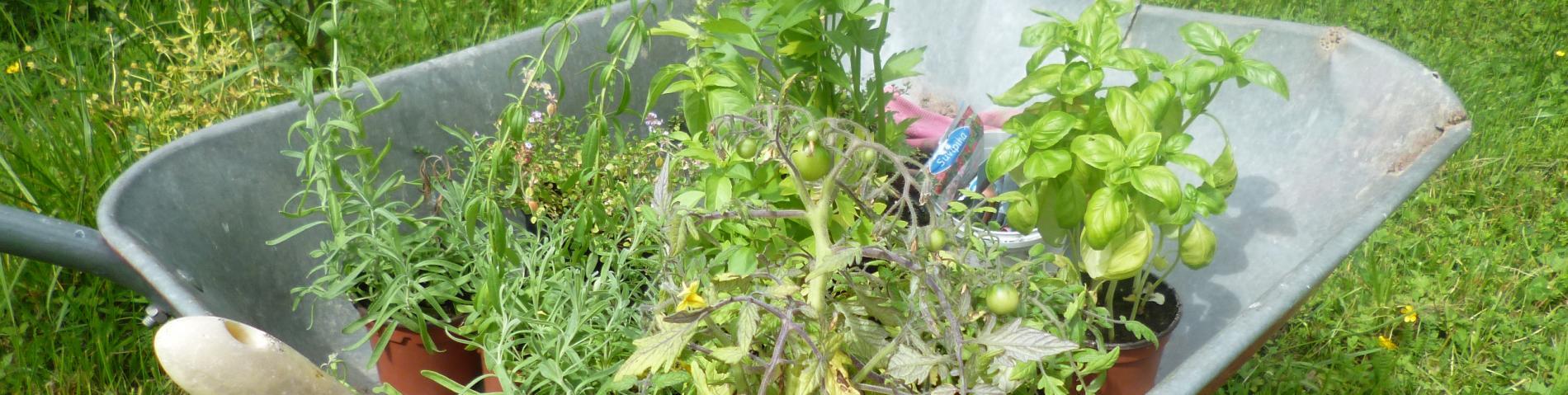 Herb garden in the making