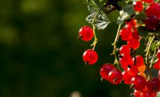 Detail photograph of a red currant by Dominik Jais