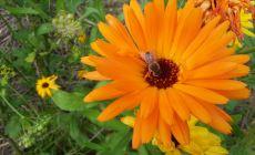 Bee on a calendula flower