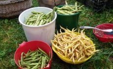 Bean harvest 2017