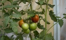 Red tomatoes hanging on a bush