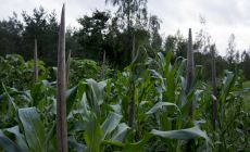 Corn bound on wood stems to withstand the wind