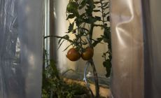 2 nearly ripe tomatoes in a small tomato green house