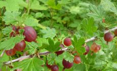 Huge red gooseberries