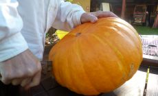 Cutting a huge pumpkin