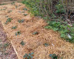 Strawberry field with straw and newspaper covering the soil